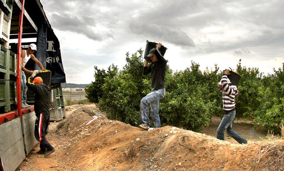 Trabajadores en la campaña de la naranja en la Vega del Guadalquivir.